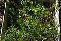 Andromeda polifolia, Conservatoire botanique national de Brest 03.jpg