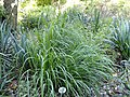 Andropogon gerardii - Botanical Garden, University of Frankfurt - DSC02537.JPG