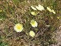 Andryala integrifolia corimbo.jpg