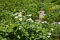Anemone narcissiflora 13.jpg