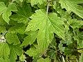 Anemone tomentosa (Ranunculaceae) leaves.JPG