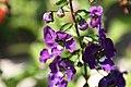 Angelonia angustifolia Angelface Blue 1zz.jpg