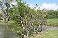 Annona glabra 17zz.jpg