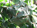 Ant House On Leaves.jpg