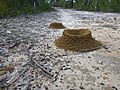 Ant mounds along Pearl Beach Fire Trail, Brisbane Water National Park.jpg