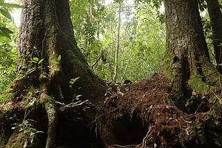 <i>Nothofagus moorei</i> species of plant