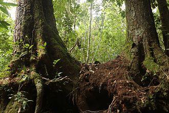 Lophozonia moorei - Comboyne, Australia