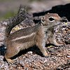 Harris's antelope squirrel, photographed in Arizona