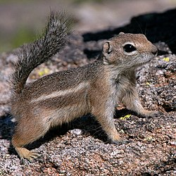 Antelope-squirrel-phoenix-arizona.jpg