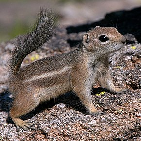 Description de l'image Antelope-squirrel-phoenix-arizona.jpg.