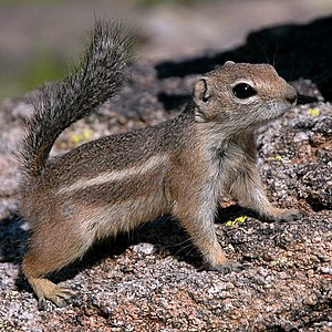 Harris's antelope squirrel - A. harrisii holding its tail over its back