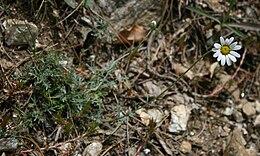 Anthemis cretica calabrica