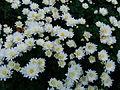Anthemis maritima Jardin des Plantes de Paris 2.JPG
