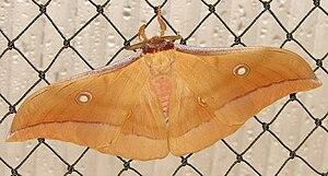 Antheraea pernyi - Living specimen