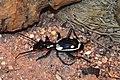 Anthia sexmaculata-1.jpg