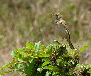 Long-billed pipit - A. s. similis near Mysore, India