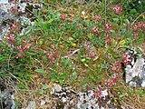 Anthyllis vulneraria rubriflora 001.JPG