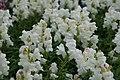 Antirrhinum Antirrhinum majus Crown White 1zz.jpg