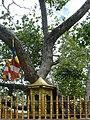 Anuradhapura Bo Tree at Jaya Sri Maha Bodhi (2).jpg