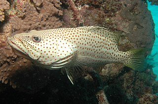 <i>Anyperodon</i> Genus of fish