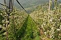 Apfelbaumplantage Lana.JPG