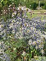 Apiales - Eryngium bourgatii - 2.jpg