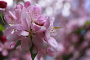 Apple-bloom-spring-flower - West Virginia - ForestWander.jpg