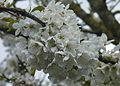 Apple tree flowers J1.JPG