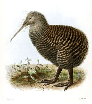 Great spotted kiwi - Illustration of a female