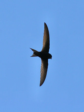 David Lack - The Common Swift, one of many subjects studied by Lack.