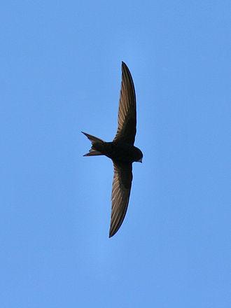 Hawking (birds) - Common swift in flight
