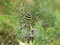 Araña Tigre en las Islas Cíes.jpg