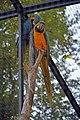 Ara ararauna (bleu) (Zoo-Amiens)b.JPG