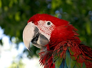 English: Profile of a parrot Ara Chloropterus ...