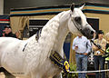Arabian Celebration Stallion Showcase (8021596705).jpg