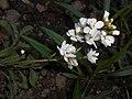 Arabis caucasica Flore Pleno 2016-04-22 8629.JPG