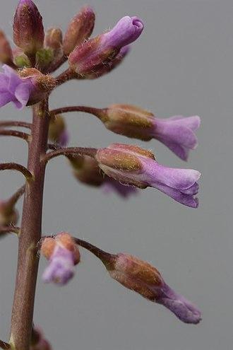 Boechera sparsiflora - Boechera sparsiflora in Wenas Wildlife Area, Washington