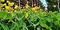 Arachis pintoi plant.jpg