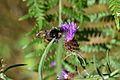 Araignées, insectes et fleurs de la forêt de Moulière (Les Agobis) (28913572212).jpg