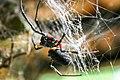 Aranha em teia.jpg