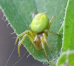 Araniella cucurbitina I.jpg