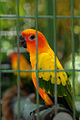 Aratinga solstitialis -Jungle Island theme park -USA-6a.jpg