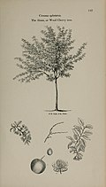 Arboretum et fruticetum britannicum, or - The trees and shrubs of Britain, native and foreign, hardy and half-hardy, pictorially and botanically delineated, and scientifically and popularly described (14783567132).jpg