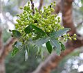 Arbutus andrachne Strawberry Tree ხემარწყვა (2).JPG