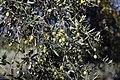 Archangelos Αρχάγγελος Rhodes Ρόδος 2019-11-27 06 olive tree.jpg
