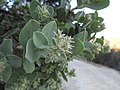 Arctostaphylos auriculata.JPG