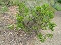 Arctostaphylos mewukka ssp. truei - University of California Botanical Garden - DSC09023.JPG