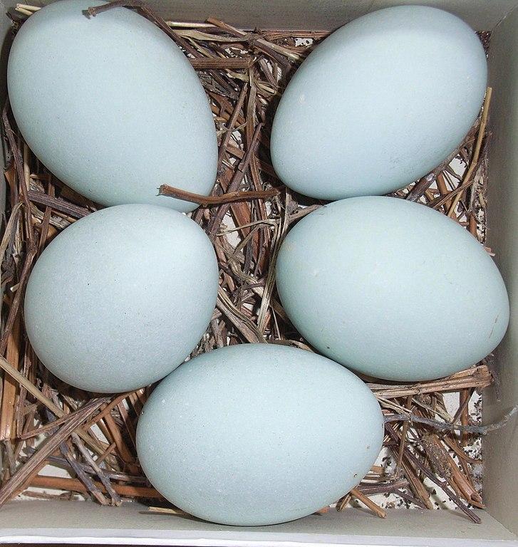Volavka popolavá (lat. Ardea cinerea) - vajíčka