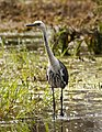 Ardea pacifica -Edithvale Wetland, Melbourne, Australia-8 (4).jpg
