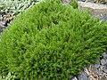 Arenaria grandiflora 1.JPG